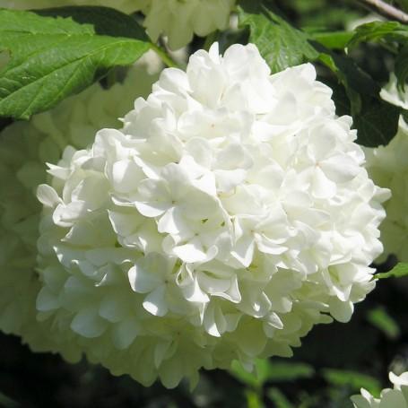 Calin viburnum opulus roseum - Boule de neige plante ...