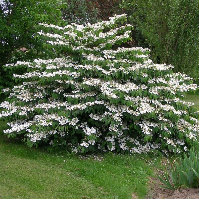 Calin Viburnum plicatum Mariesii