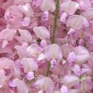 Glicina sinensis Rosea