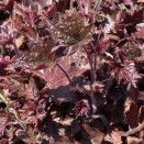 Clopotel Heuchera Palace Purple