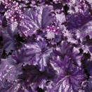 Heuchera Forever Purple ®