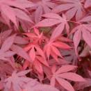 Artar Japonez Acer palmatum Atropurpureum