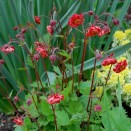 Geum rivale Flame of Passion