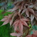 Artar Japonez Acer palmatum Bloodgood
