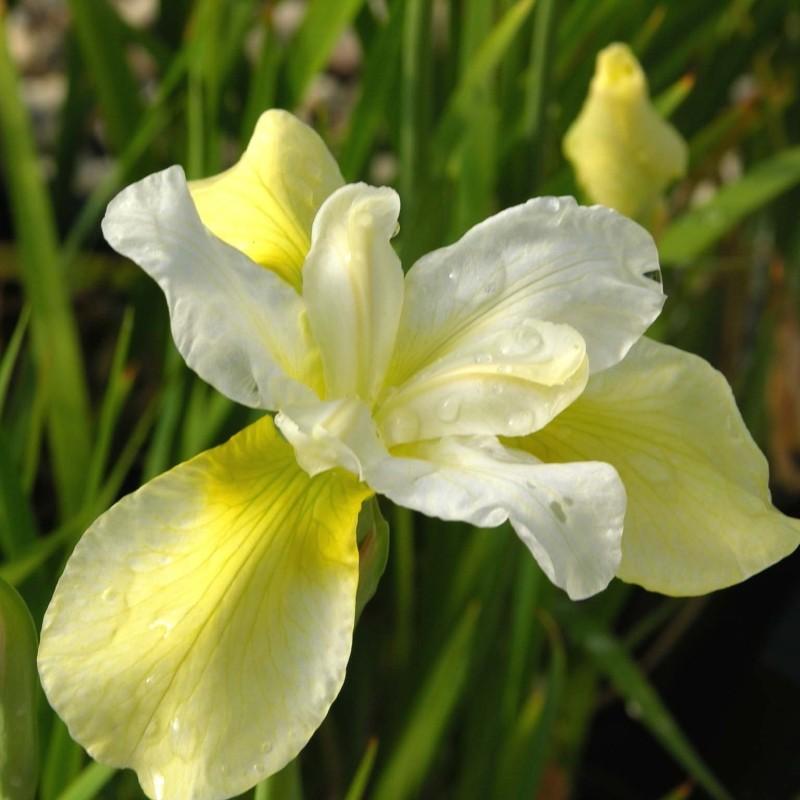 Iris Butter and Sugar