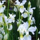 Iris Snow Queen