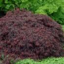 Artar Japonez Acer palmatum Crimson Queen