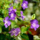 Saschiu Vinca major maculata