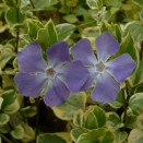 Saschiu Vinca major Variegata
