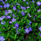 Pervinica Vinca minor
