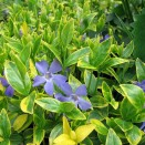 Pervinica Vinca minor Aureovariegata