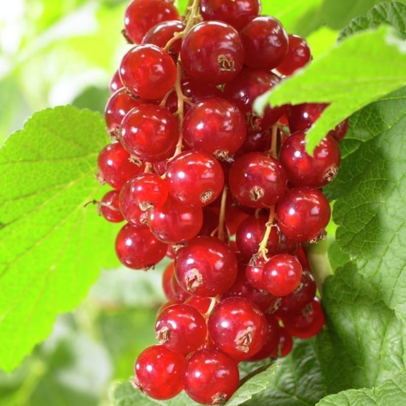 Coacaz Rosu Ribes Jonkheer