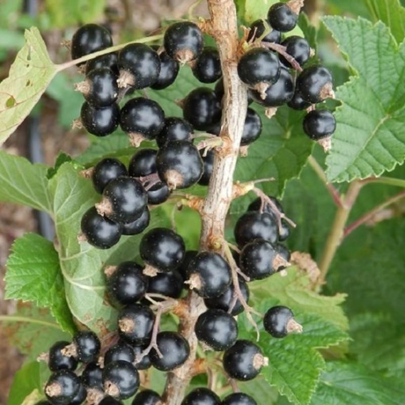 Coacaz Negru Ribes Diana