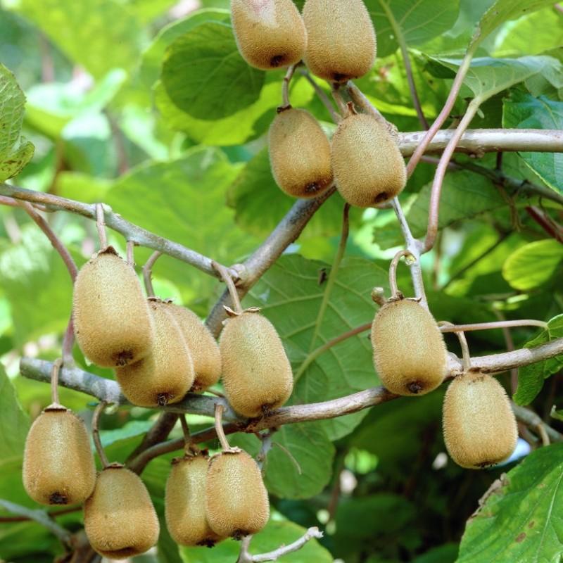 Kiwi Actinidia deliciosa