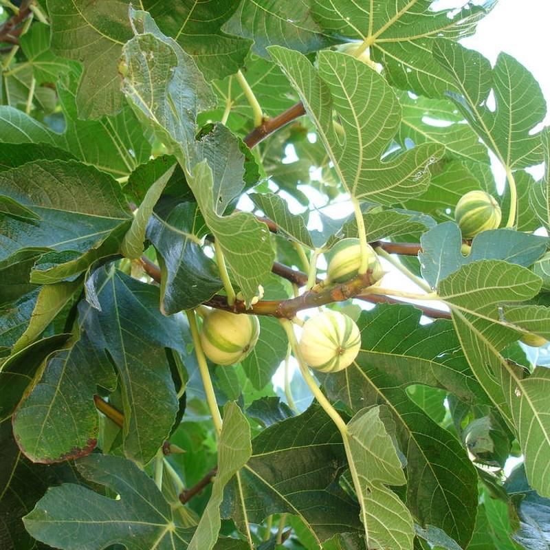Smochin Ficus carica