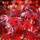 Artar Japonez Acer palmatum Fireglow