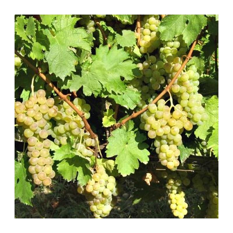 Alba de vin Tamaioasa Romaneasca
