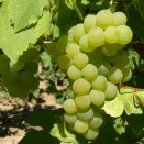 Alba de vin Muscat Ottonel