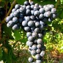 Rosie de vin Feteasca Neagra