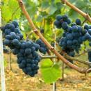 Rosie de vin Pinot Noir