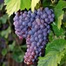Rosie de vin Merlot