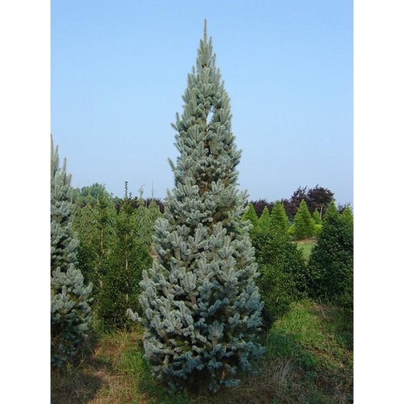 Molid Argintiu Picea pungens Iseli Fastigiata