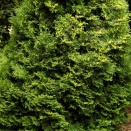 Tuia Thuja occidentalis Holmstrup