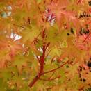 Artar Japonez Acer palmatum Sangokaku