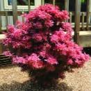 Artar Japonez Acer palmatum Shania
