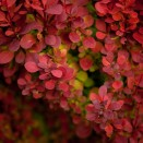 Berberis thunbergii Red Rocket