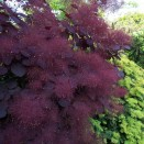 Cotinus coggygria Royal Purple