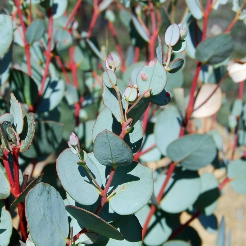 Eucalipt Eucalyptus gunnii