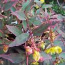 Sunatoare Hypericum moserianum 'Tricolor'