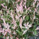 Salcie Salix integra Hakuro Nishiki