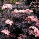 Soc Sambucus nigra Black Lace
