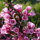 Weigela Florida purpurea Nana