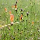 Coada calului Equisetum scirpoides