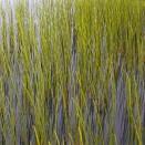 Coada calului Equisetum fluviatile