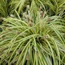 Carex Morowii Variegata
