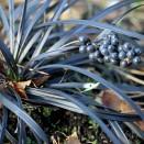 Iarba Neagra Ophiopogon planiscapus Niger