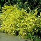 Bambus Pleioblastus viridistriatus Auricoma