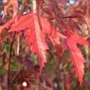 Artar Acer ginnala