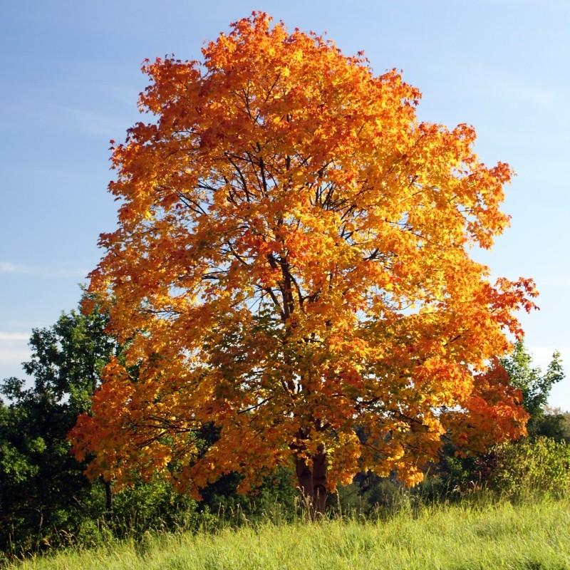 Artar Acer platanoides