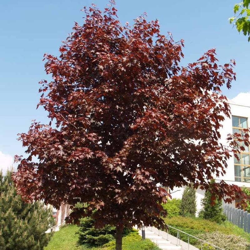 Artar Acer platanoides Crimson Kingu