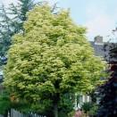 Artar Acer platanoides Drummondii