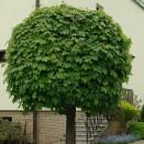 Artar Acer platanoides Globosum