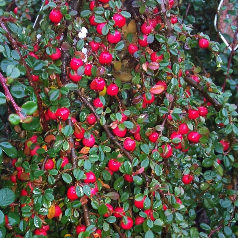 Cotoneaster procumbens Streib's Findling