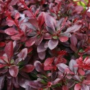 Berberis media Red Juwel