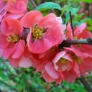 Gutui Japonez Chaenomeles superba Pink Lady