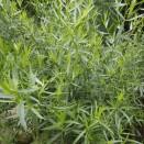 Tarhon Artemisia dracunculus